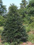 Holly-tree-for-web