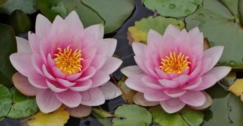 Pink Lotus (500x260)