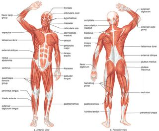 Human-muscles
