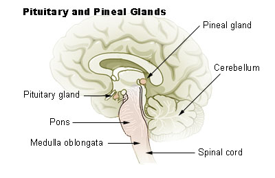 Pituitary_pineal_glands